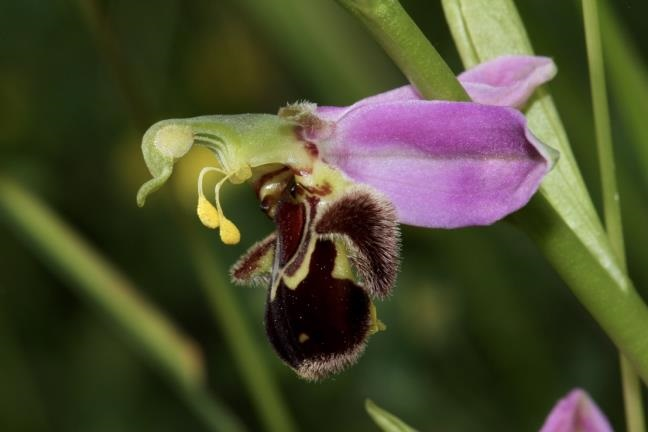 Ophrys apifera, Orchidaceae